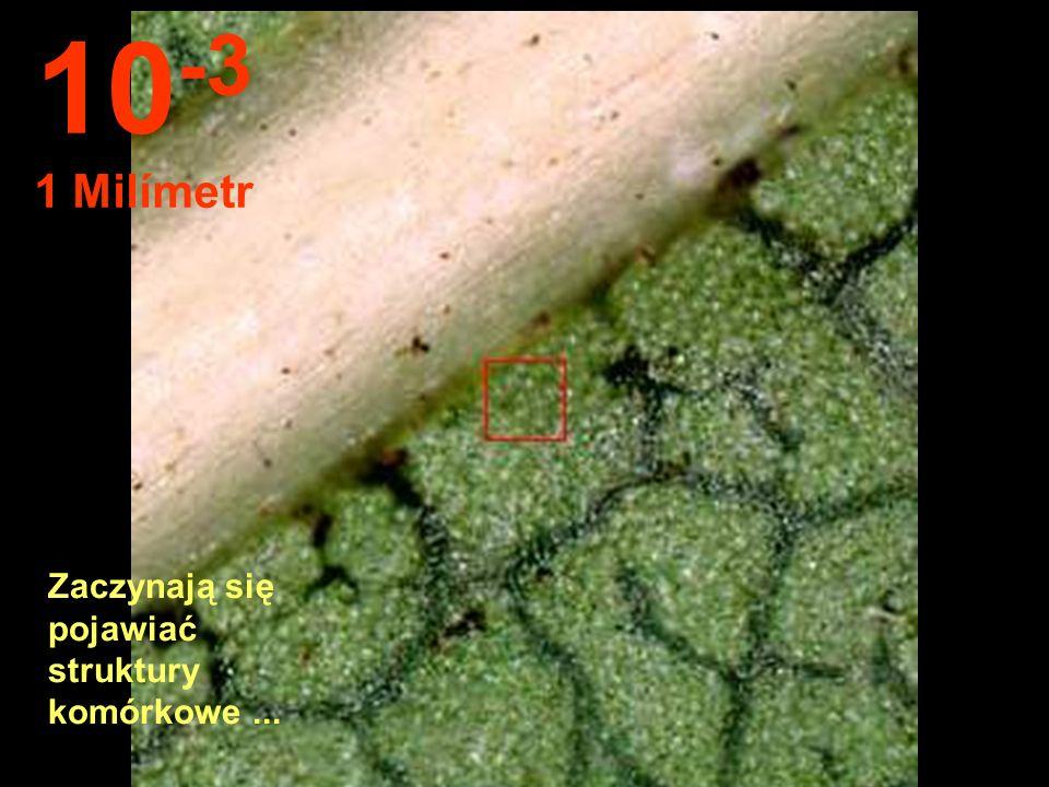 Z tej odległości można obserwować strukturę liści. 10 -2 1 Centymetr