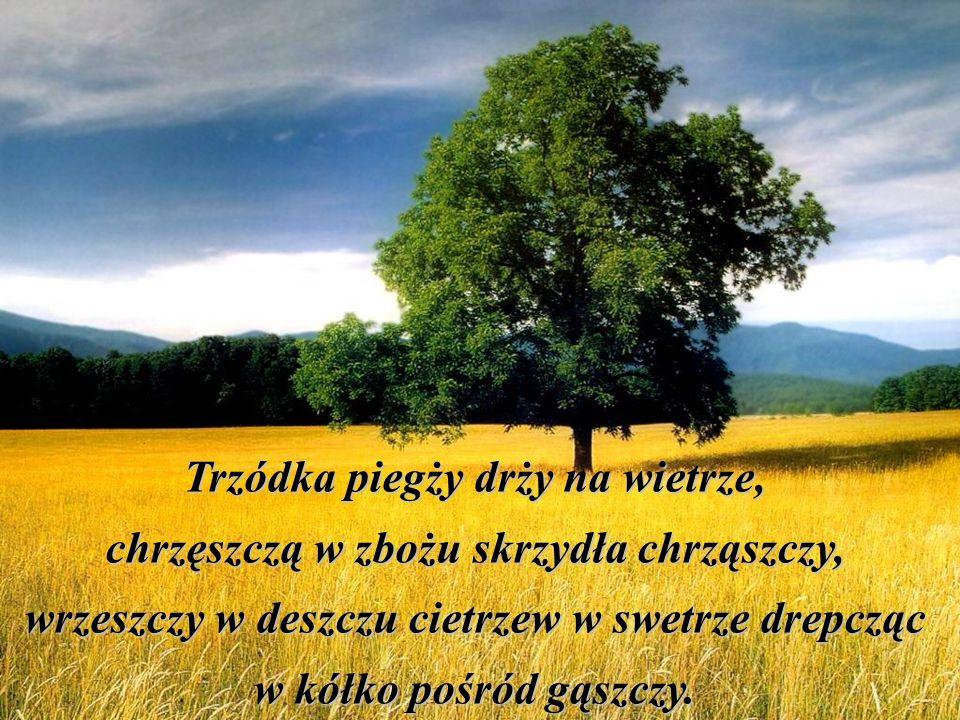 Trzynastego, w Szczebrzeszynie chrząszcz się zaczął tarzać w trzcinie.