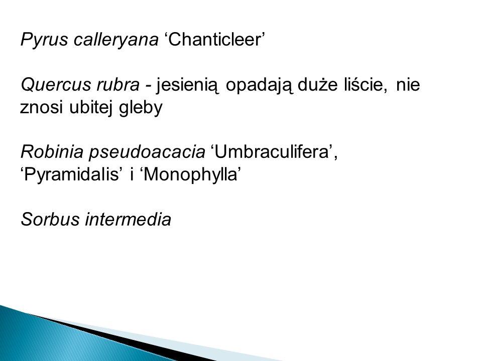 Pyrus calleryana Chanticleer Quercus rubra - jesienią opadają duże liście, nie znosi ubitej gleby Robinia pseudoacacia Umbraculifera, Pyramidalis i Monophylla Sorbus intermedia