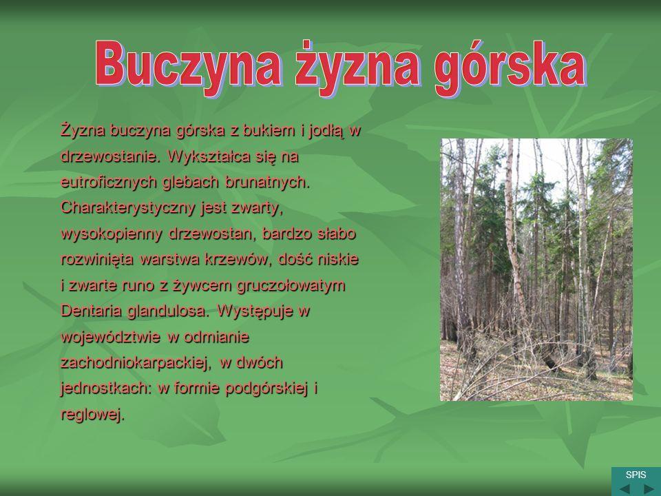 Żyzna buczyna górska z bukiem i jodłą w drzewostanie. Wykształca się na eutroficznych glebach brunatnych. Charakterystyczny jest zwarty, wysokopienny