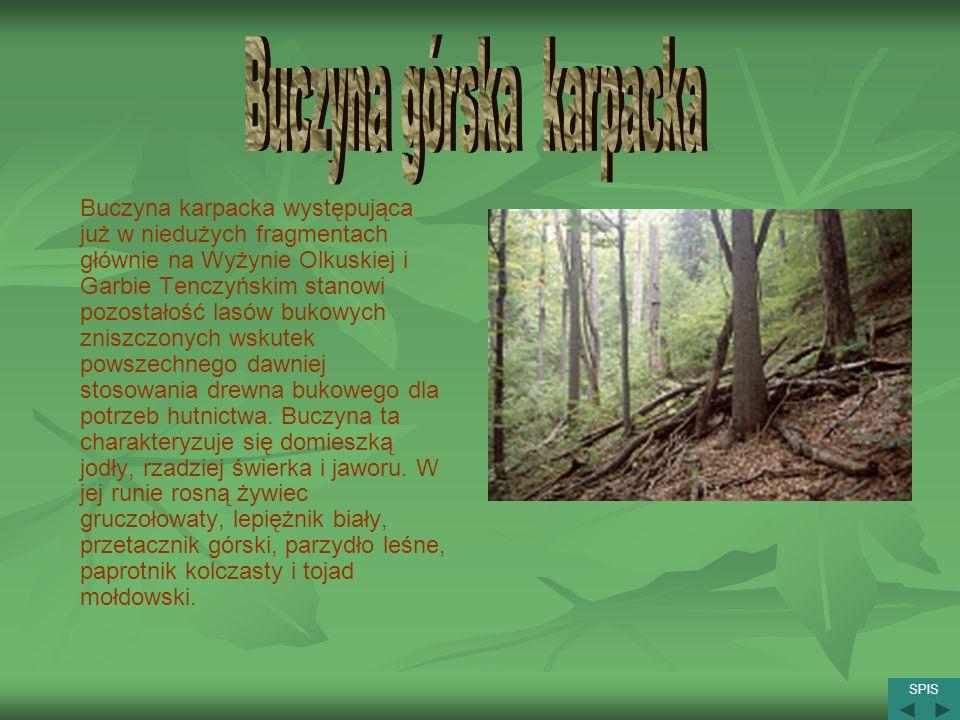 Buczyna karpacka występująca już w niedużych fragmentach głównie na Wyżynie Olkuskiej i Garbie Tenczyńskim stanowi pozostałość lasów bukowych zniszczo