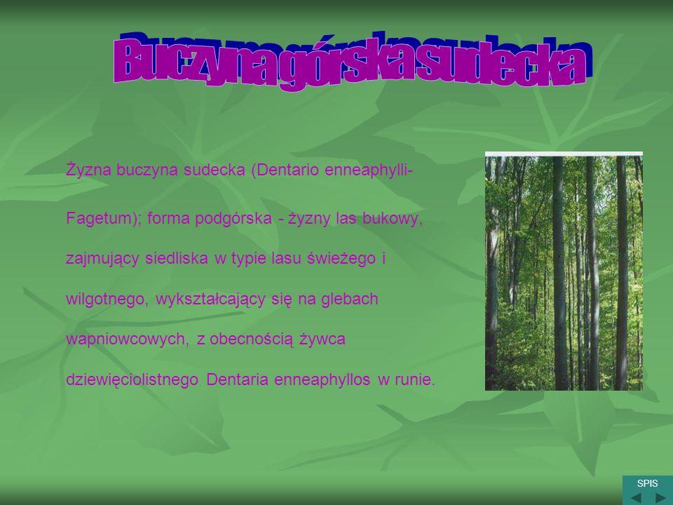 Żyzna buczyna sudecka (Dentario enneaphylli- Fagetum); forma podgórska - żyzny las bukowy, zajmujący siedliska w typie lasu świeżego i wilgotnego, wyk