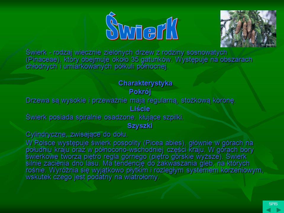Świerk - rodzaj wiecznie zielonych drzew z rodziny sosnowatych (Pinaceae), który obejmuje około 35 gatunków. Występuje na obszarach chłodnych i umiark
