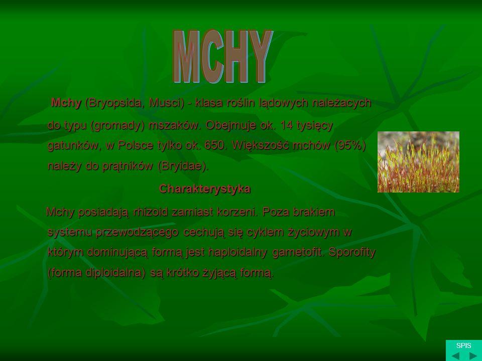 Mchy (Bryopsida, Musci) - klasa roślin lądowych należacych do typu (gromady) mszaków. Obejmuje ok. 14 tysięcy gatunków, w Polsce tylko ok. 650. Większ