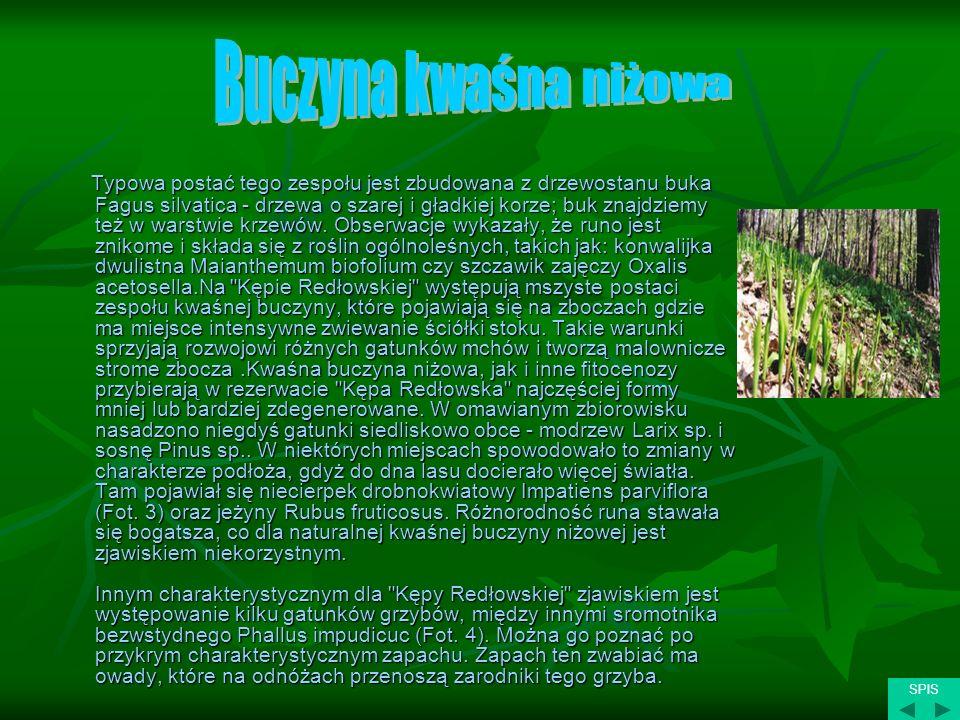 Typowa postać tego zespołu jest zbudowana z drzewostanu buka Fagus silvatica - drzewa o szarej i gładkiej korze; buk znajdziemy też w warstwie krzewów