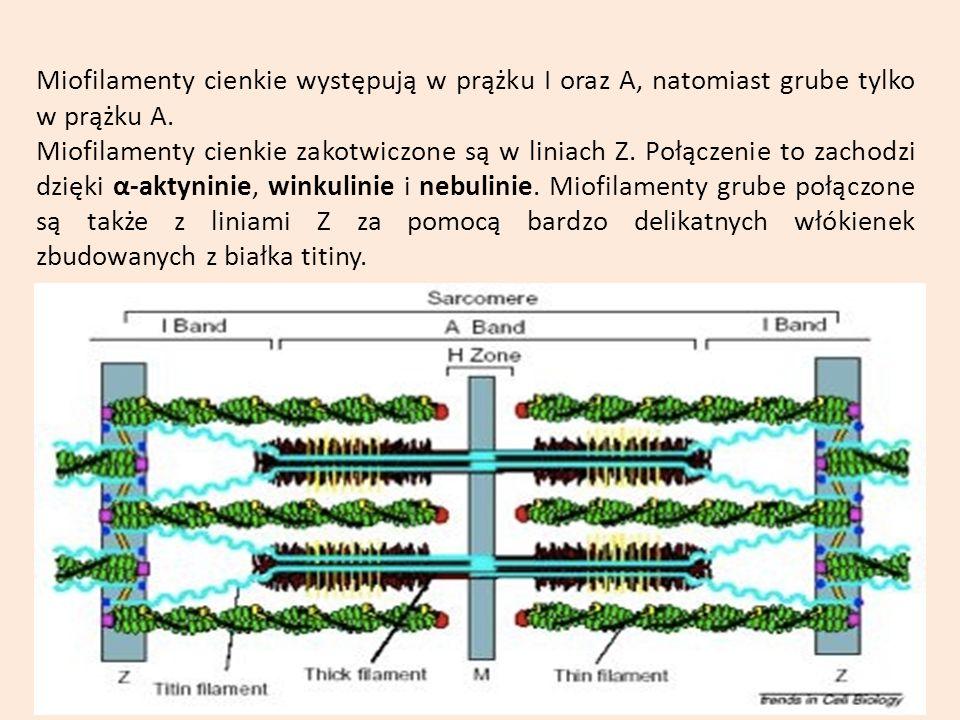 Miofilamenty cienkie występują w prążku I oraz A, natomiast grube tylko w prążku A. Miofilamenty cienkie zakotwiczone są w liniach Z. Połączenie to za