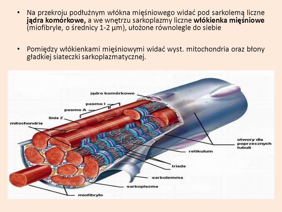 Na przekroju podłużnym włókna mięśniowego widać pod sarkolemą liczne jądra komórkowe, a we wnętrzu sarkoplazmy liczne włókienka mięśniowe (miofibryle,