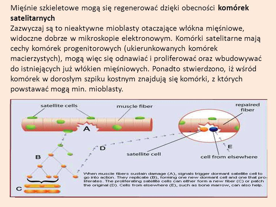 Mięśnie szkieletowe mogą się regenerować dzięki obecności komórek satelitarnych Zazwyczaj są to nieaktywne mioblasty otaczające włókna mięśniowe, wido