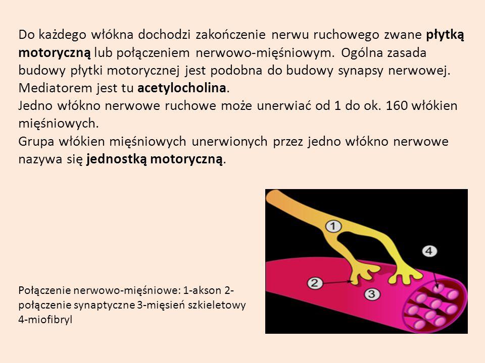 Do każdego włókna dochodzi zakończenie nerwu ruchowego zwane płytką motoryczną lub połączeniem nerwowo-mięśniowym. Ogólna zasada budowy płytki motoryc