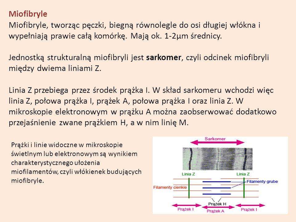 Miofibryle Miofibryle, tworząc pęczki, biegną równolegle do osi długiej włókna i wypełniają prawie całą komórkę. Mają ok. 1-2µm średnicy. Jednostką st