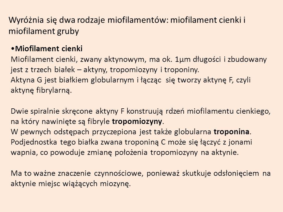 Wyróżnia się dwa rodzaje miofilamentów: miofilament cienki i miofilament gruby Miofilament cienki Miofilament cienki, zwany aktynowym, ma ok. 1µm dług