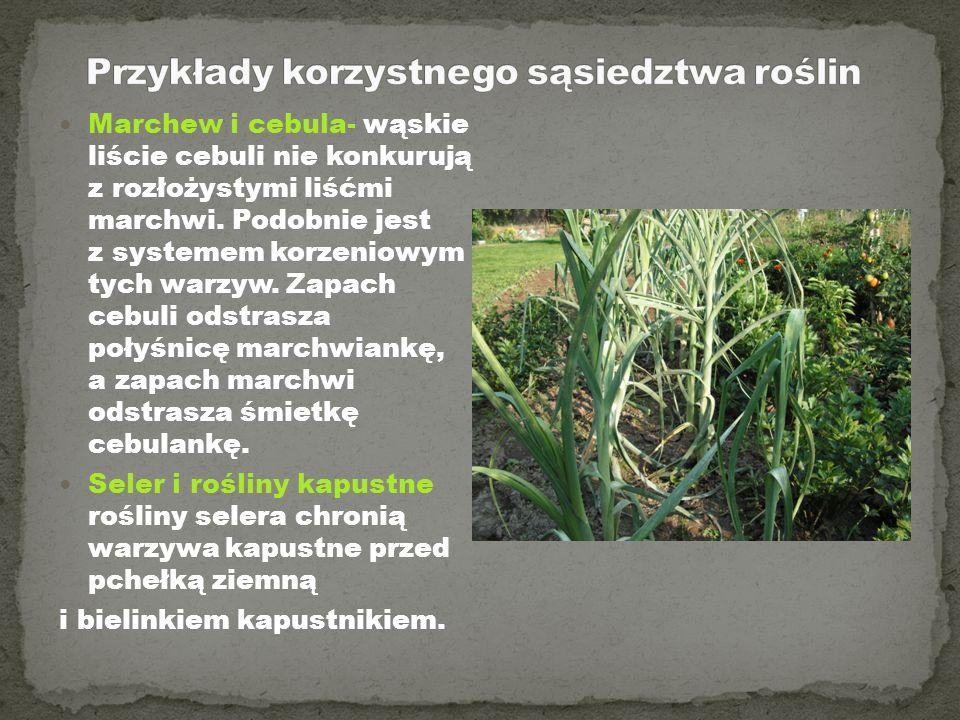 Marchew i cebula- wąskie liście cebuli nie konkurują z rozłożystymi liśćmi marchwi. Podobnie jest z systemem korzeniowym tych warzyw. Zapach cebuli od