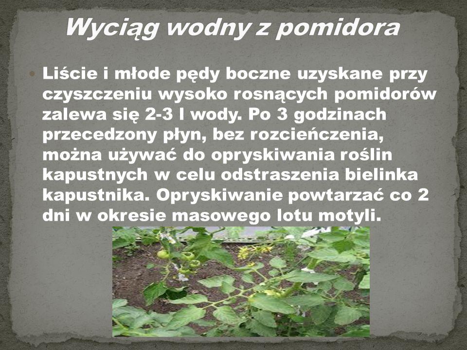 Liście i młode pędy boczne uzyskane przy czyszczeniu wysoko rosnących pomidorów zalewa się 2-3 l wody. Po 3 godzinach przecedzony płyn, bez rozcieńcze