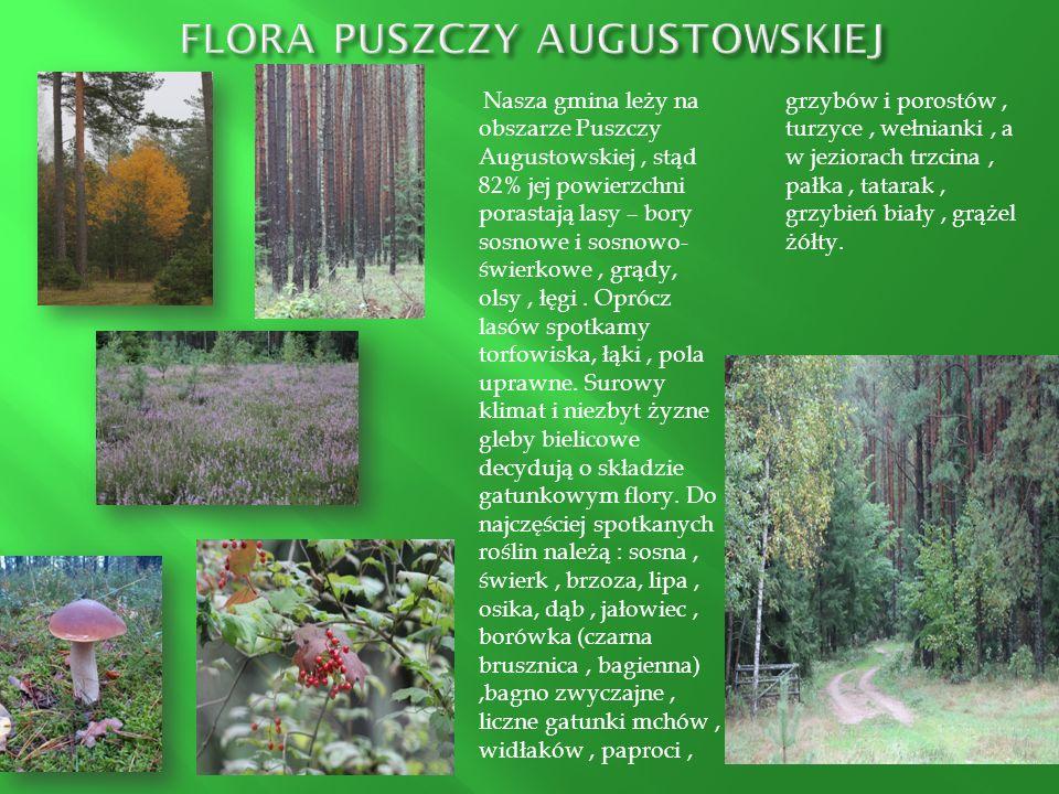 Nasza gmina leży na obszarze Puszczy Augustowskiej, stąd 82% jej powierzchni porastają lasy – bory sosnowe i sosnowo- świerkowe, grądy, olsy, łęgi. Op