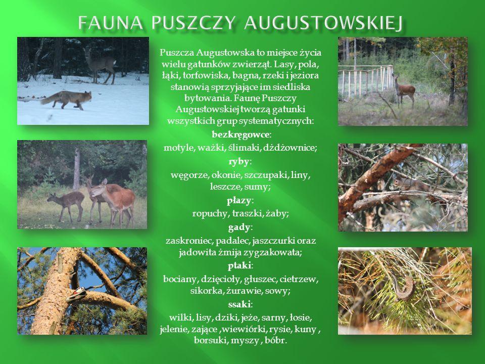 Puszcza Augustowska to miejsce życia wielu gatunków zwierząt. Lasy, pola, łąki, torfowiska, bagna, rzeki i jeziora stanowią sprzyjające im siedliska b