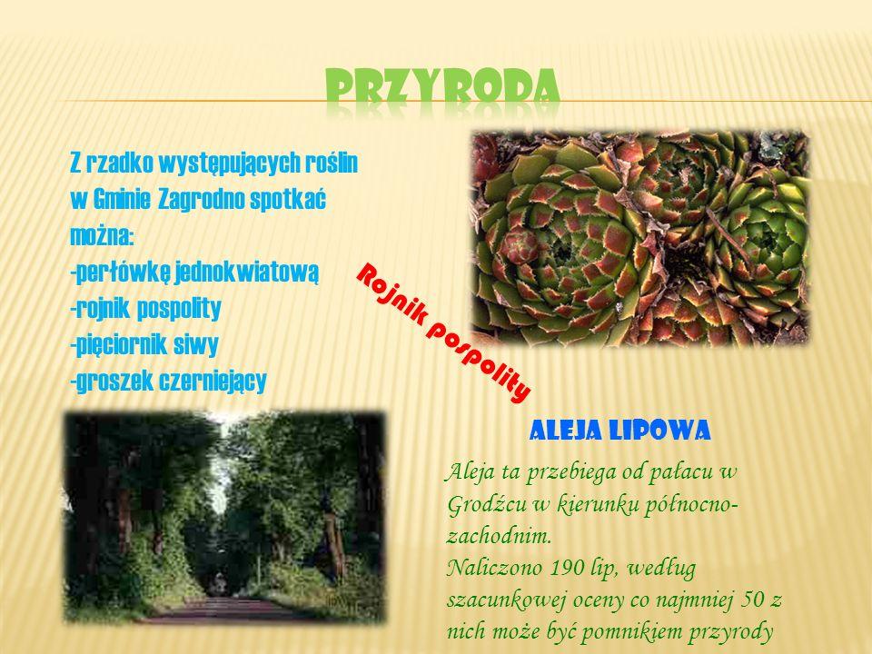 Z rzadko występujących roślin w Gminie Zagrodno spotkać można: -perłówkę jednokwiatową -rojnik pospolity -pięciornik siwy -groszek czerniejący Rojnik
