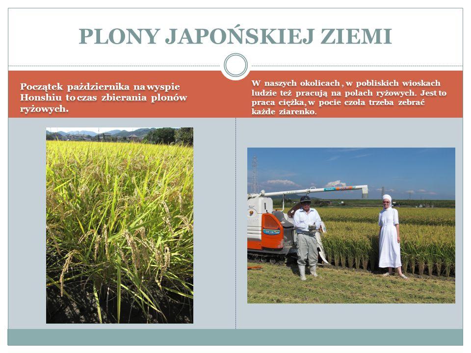Początek pażdziernika na wyspie Honshiu to czas zbierania plonów ryżowych.