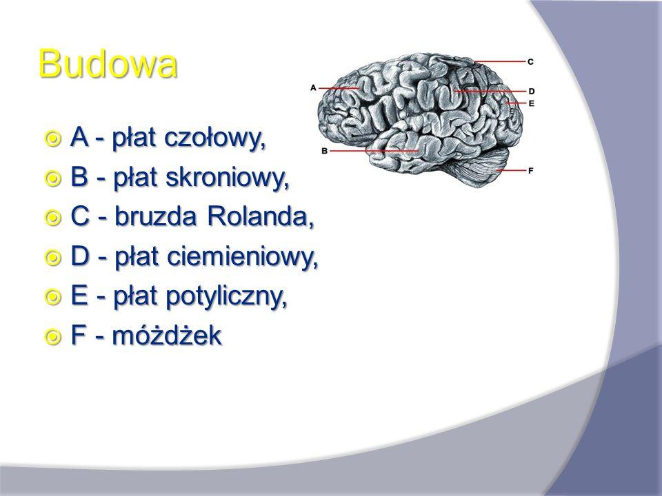 Funkcje mózgu Zasadniczymi funkcjami układu nerwowego są: odbieranie i analizowanie bodźców ze środowiska wewnętrznego i zewnętrznego, odbieranie i analizowanie bodźców ze środowiska wewnętrznego i zewnętrznego, reagowanie na bodźce, reagowanie na bodźce, kontrola pracy narządów wewnętrznych, kontrola pracy narządów wewnętrznych, wyższe czynności myślowe (inteligencja i pamięć).