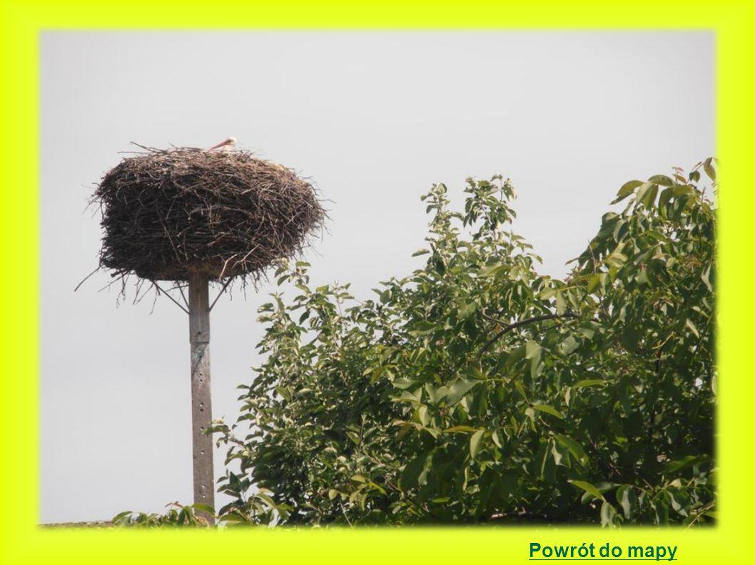 Wielka Wieś gniazdo położone było na starej spróchniałej topoli 2000 - 0 młodych - gniazdo długo i późno budowane na ściętej topoli.