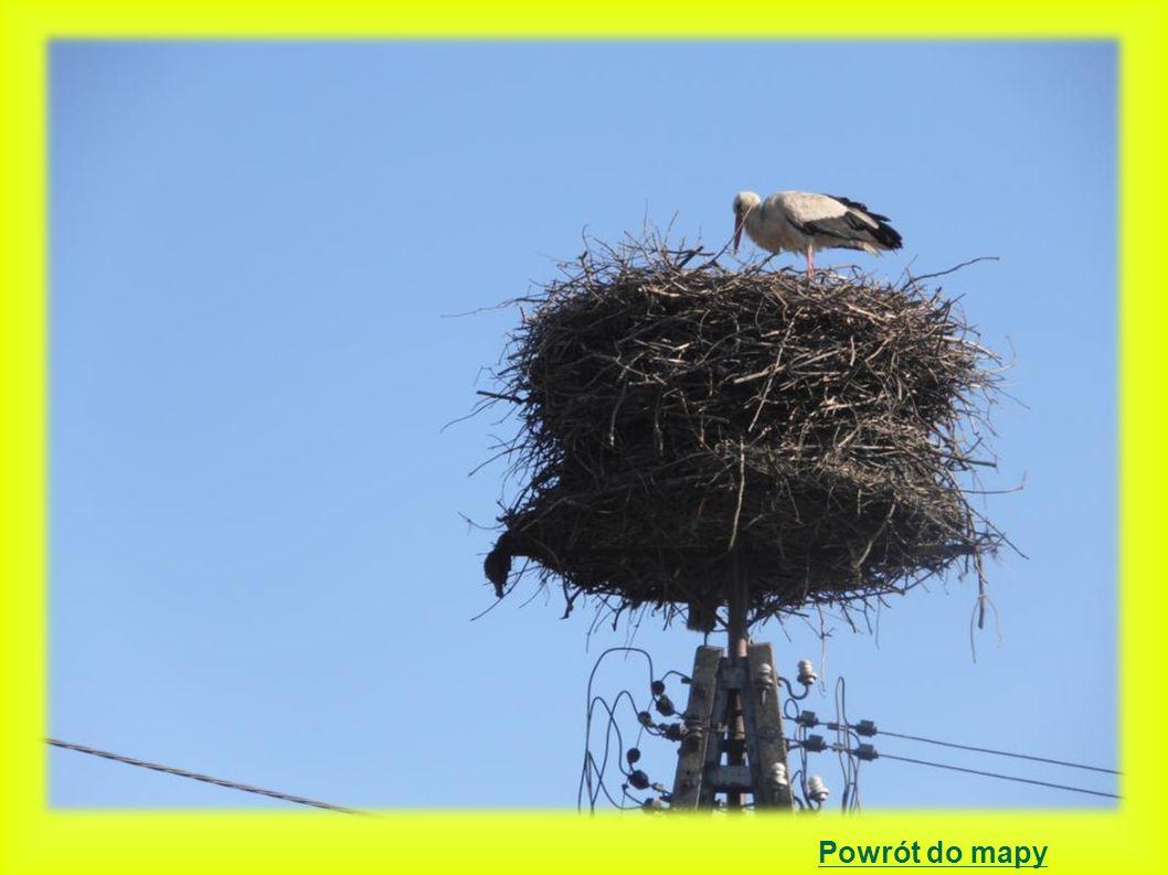Żodyń położenie gniazda: słup energetyczny betonowy z platformą 2000 – 3 młode, gniazdo bardzo duże i ciężkie.