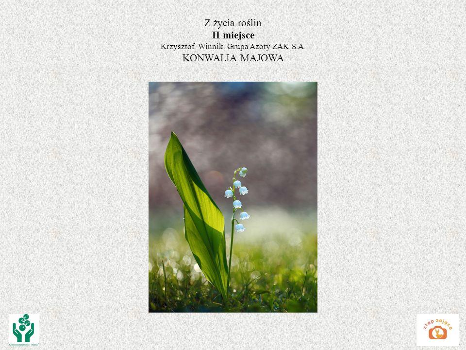 Z życia roślin II miejsce Krzysztof Winnik, Grupa Azoty ZAK S.A. KONWALIA MAJOWA