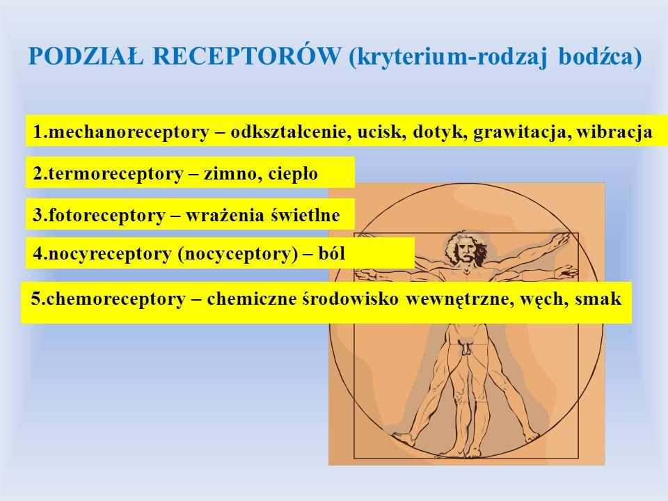 5.chemoreceptory – chemiczne środowisko wewnętrzne, węch, smak PODZIAŁ RECEPTORÓW (kryterium-rodzaj bodźca) 1.mechanoreceptory – odkształcenie, ucisk,