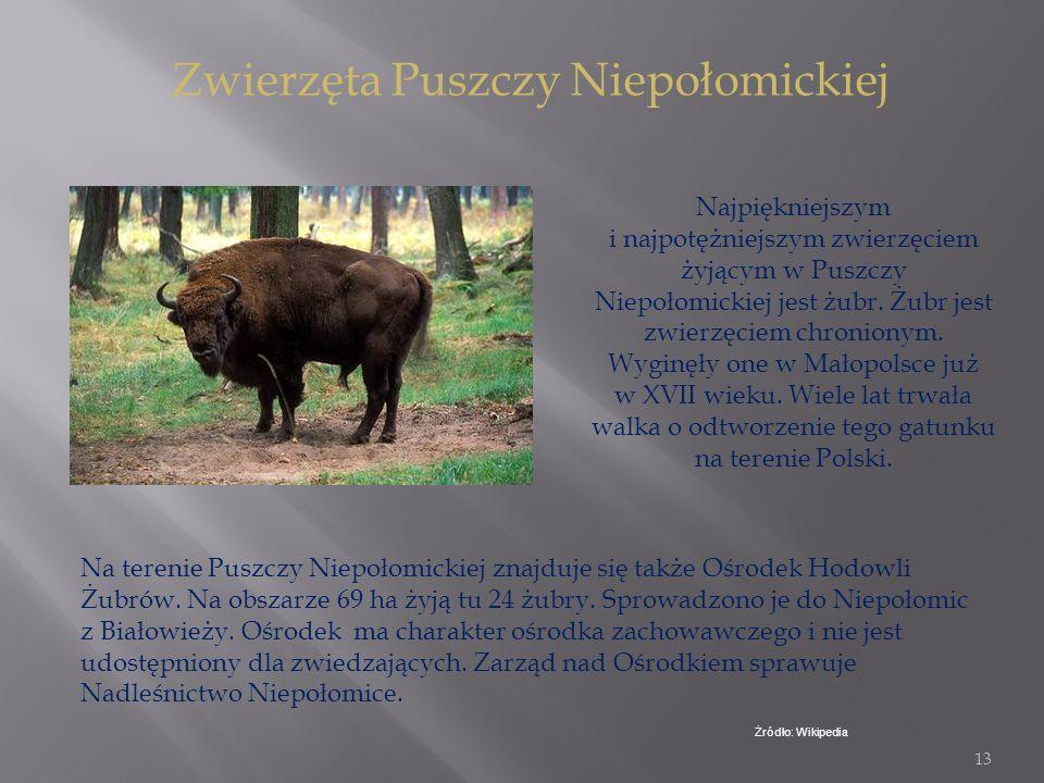 12 Puszcza Niepołomicka to jedna z większych atrakcji turystycznych. Dziś obszar puszczy obejmuje około 115 kilometrów kwadratowych i rozciąga się od