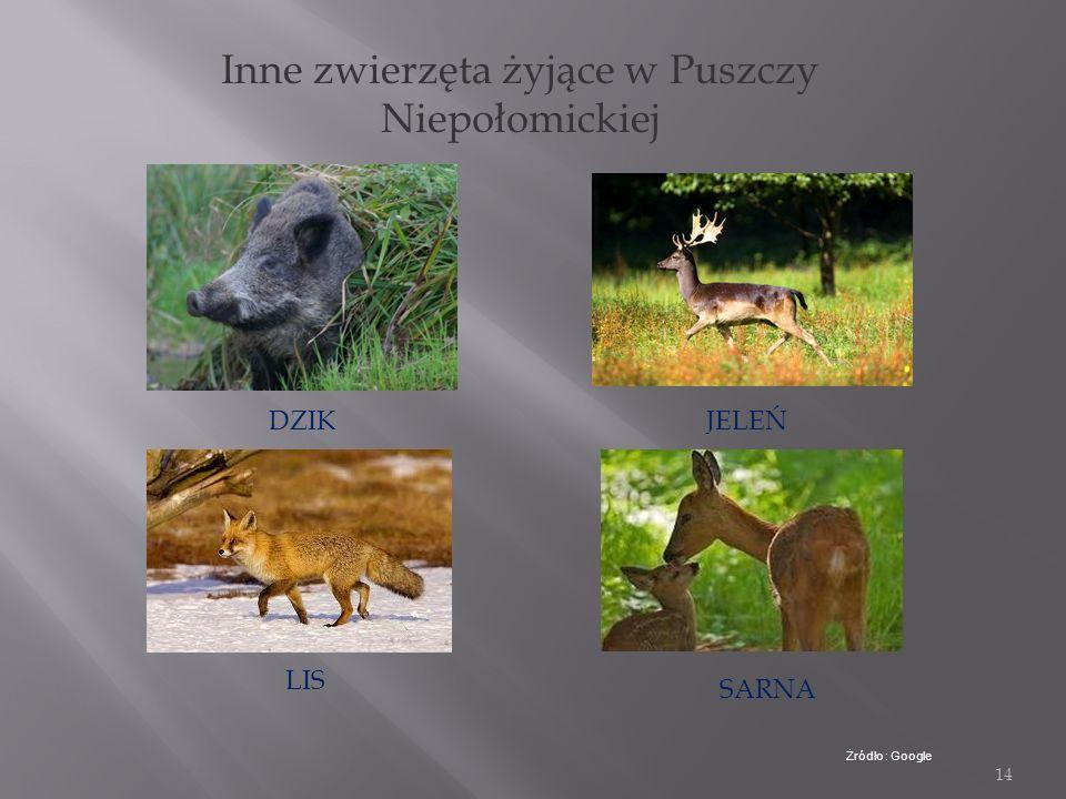 13 Zwierzęta Puszczy Niepołomickiej Najpiękniejszym i najpotężniejszym zwierzęciem żyjącym w Puszczy Niepołomickiej jest żubr. Żubr jest zwierzęciem c
