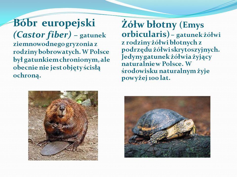 Bóbr europejski (Castor fiber) – gatunek ziemnowodnego gryzonia z rodziny bobrowatych. W Polsce był gatunkiem chronionym, ale obecnie nie jest objęty