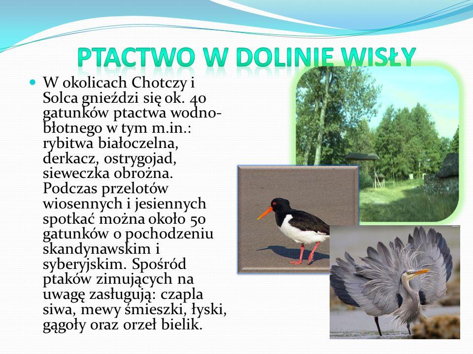 W okolicach Chotczy i Solca gnieździ się ok. 40 gatunków ptactwa wodno- błotnego w tym m.in.: rybitwa białoczelna, derkacz, ostrygojad, sieweczka obro