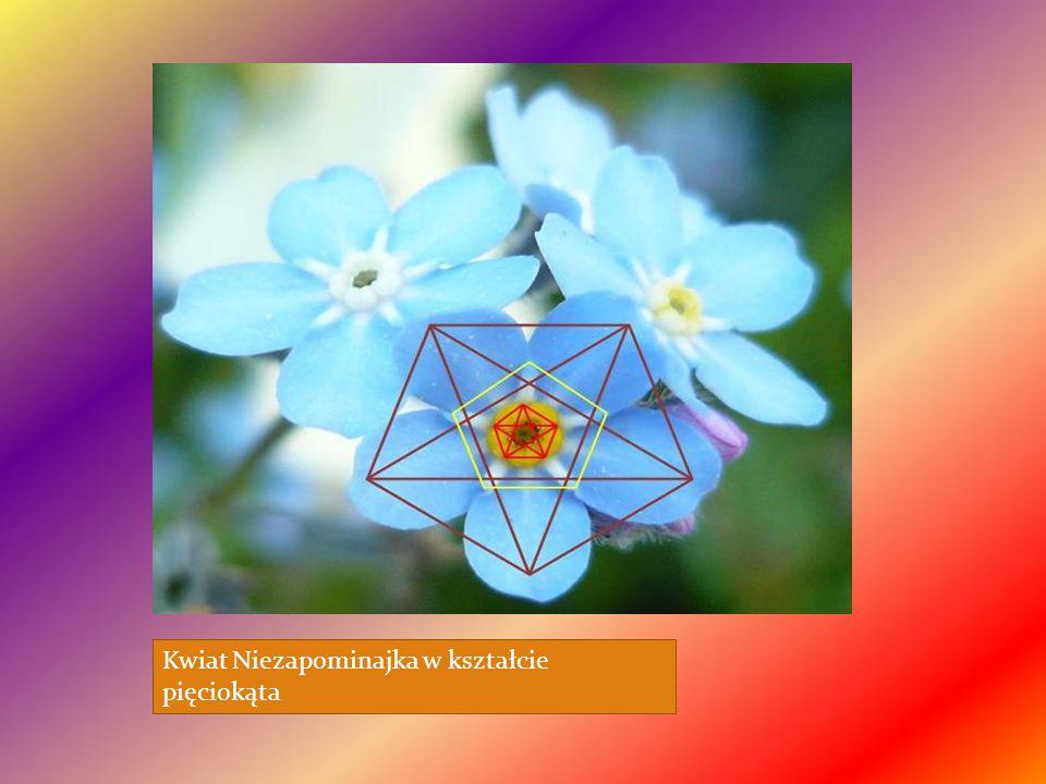 Kwiat Niezapominajka w kształcie pięciokąta