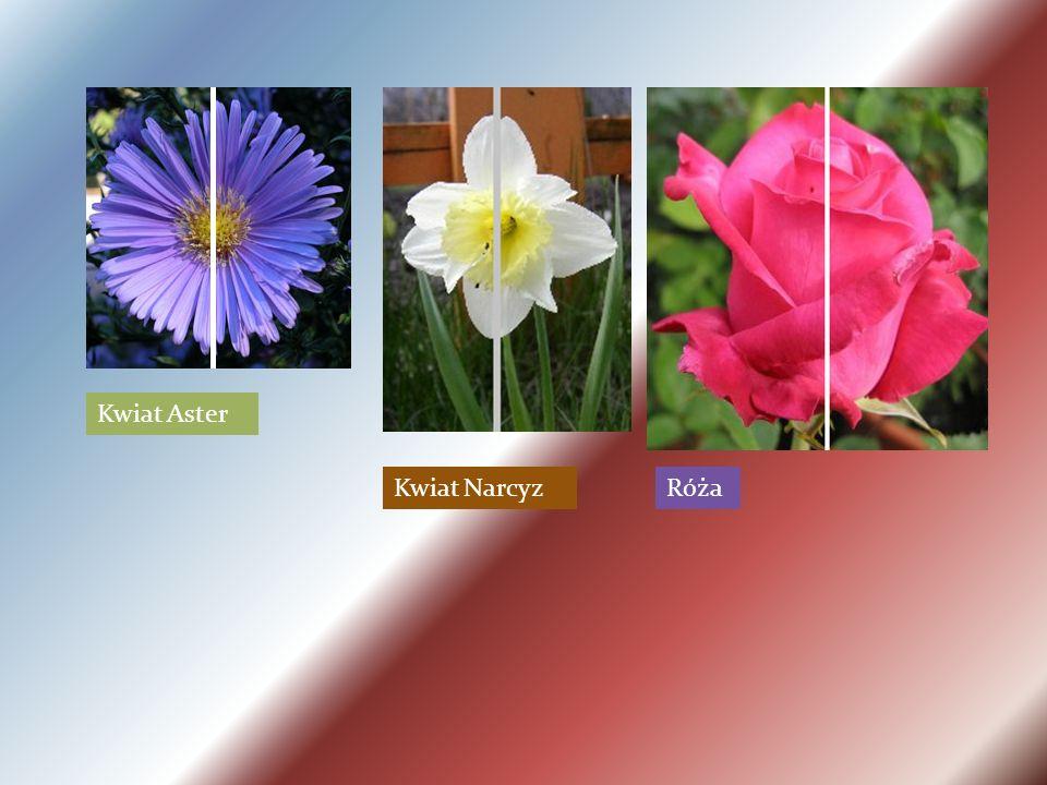 Kwiat Aster Kwiat NarcyzRóża