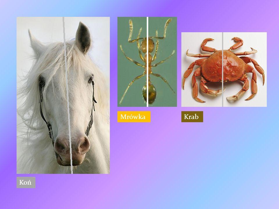 Koń MrówkaKrab