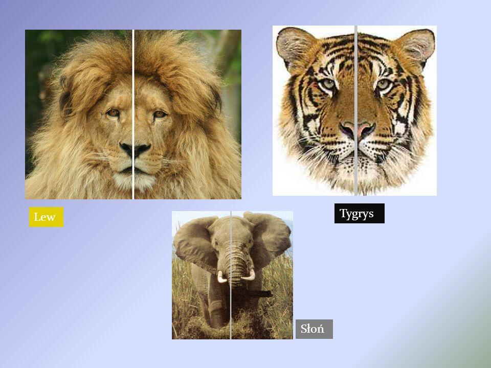 Lew Słoń Tygrys