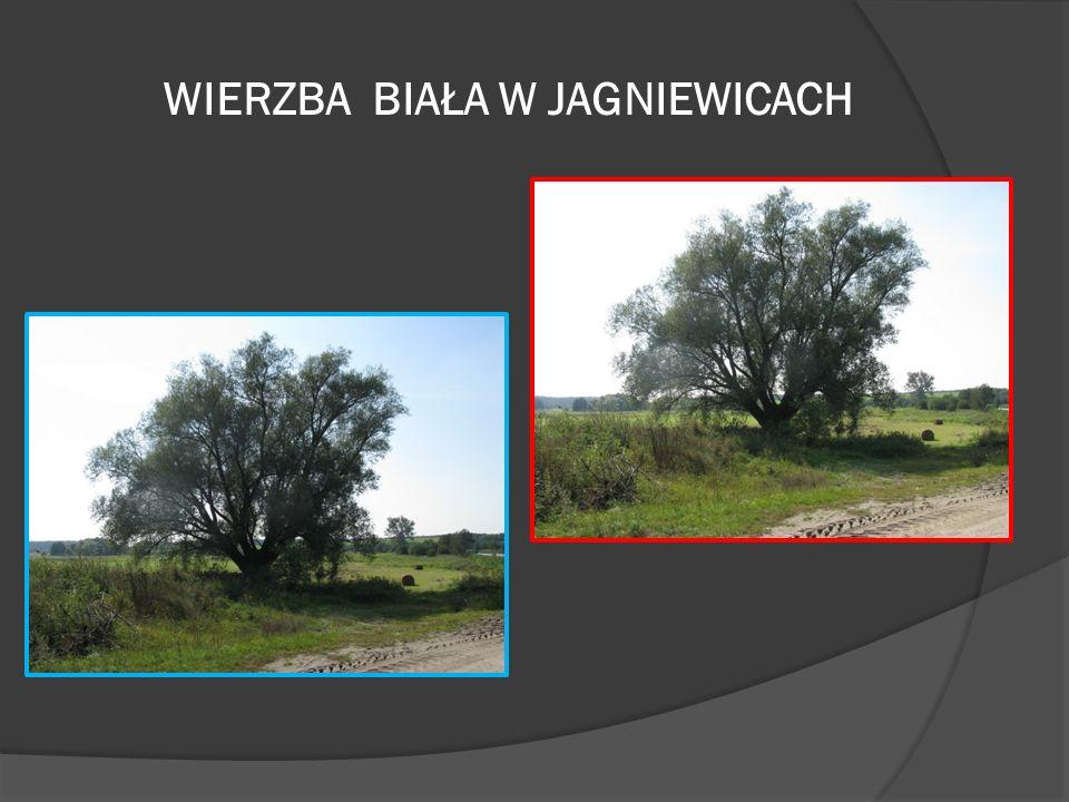 Pomniki przyrody: Pomniki przyrody ożywionej Pomniki przyrody nieożywionej pojedyncze drzewa ze względu na wiek, rozmiary lub szczególny kształt, alej