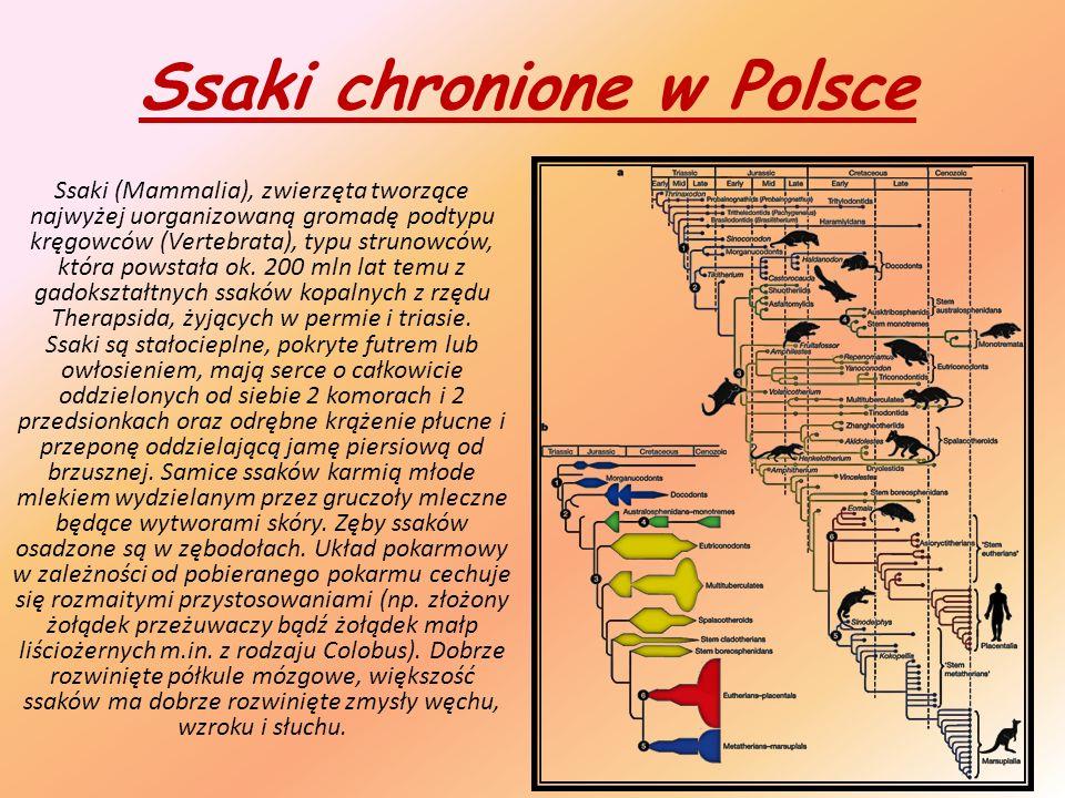 Ssaki chronione w Polsce Ssaki (Mammalia), zwierzęta tworzące najwyżej uorganizowaną gromadę podtypu kręgowców (Vertebrata), typu strunowców, która powstała ok.