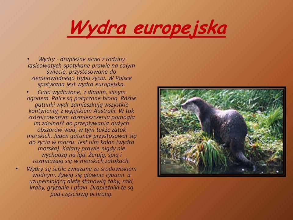 Wydra europejska Wydry - drapieżne ssaki z rodziny łasicowatych spotykane prawie na całym świecie, przystosowane do ziemnowodnego trybu życia.
