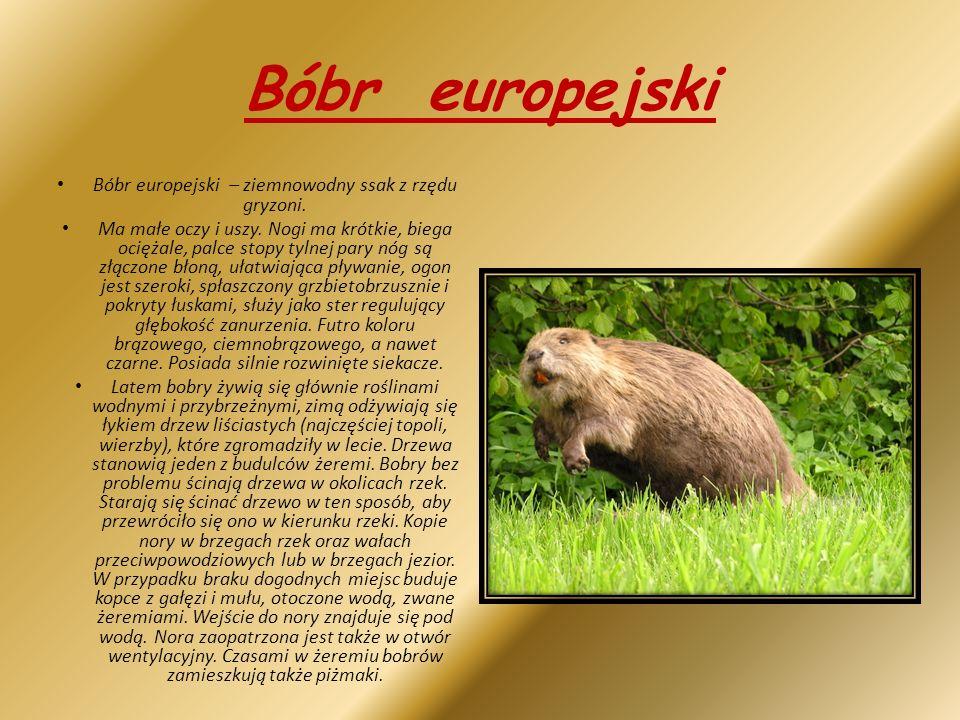 Bóbr europejski Bóbr europejski – ziemnowodny ssak z rzędu gryzoni.