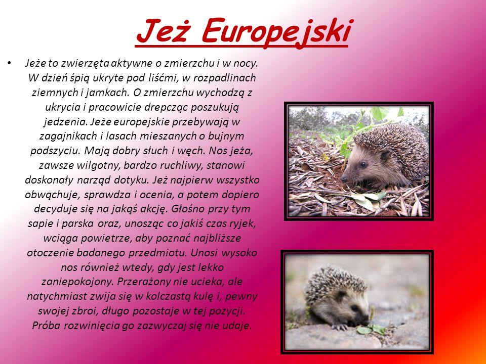 Jeż Europejski Jeże to zwierzęta aktywne o zmierzchu i w nocy.