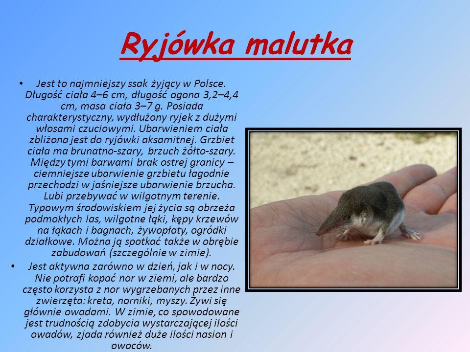 Ryjówka malutka Jest to najmniejszy ssak żyjący w Polsce.