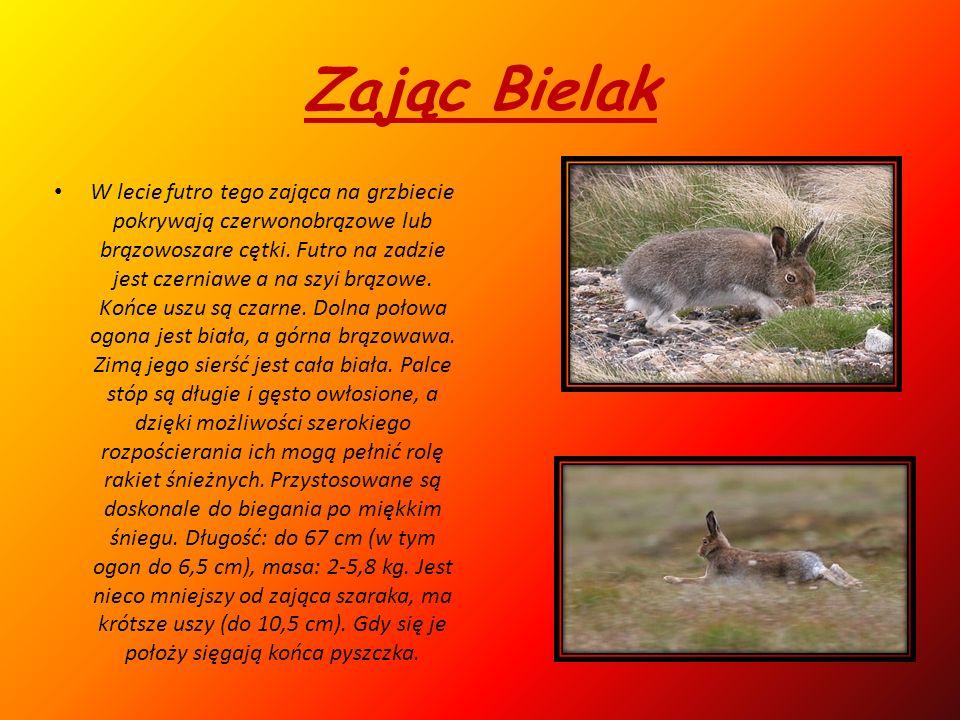 Zając Bielak W lecie futro tego zająca na grzbiecie pokrywają czerwonobrązowe lub brązowoszare cętki.