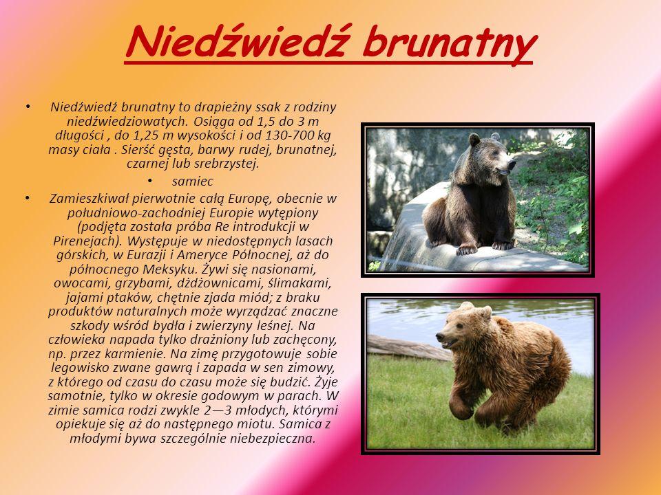 Niedźwiedź brunatny Niedźwiedź brunatny to drapieżny ssak z rodziny niedźwiedziowatych.