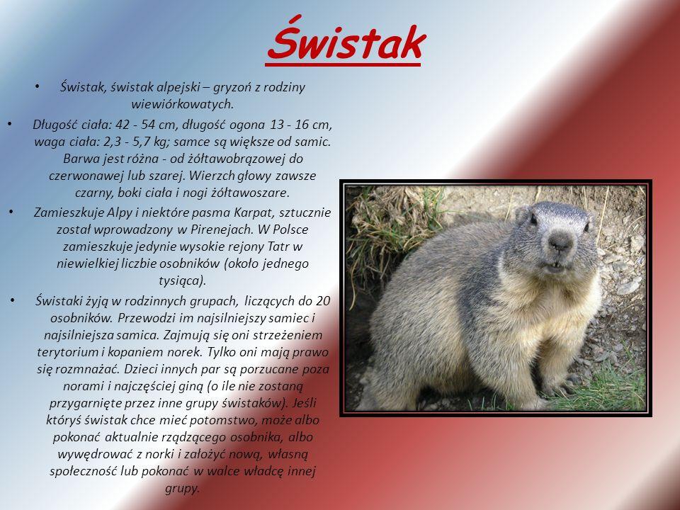 Świstak Świstak, świstak alpejski – gryzoń z rodziny wiewiórkowatych.
