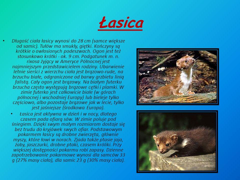 Łasica Długość ciała łasicy wynosi do 28 cm (samce większe od samic).