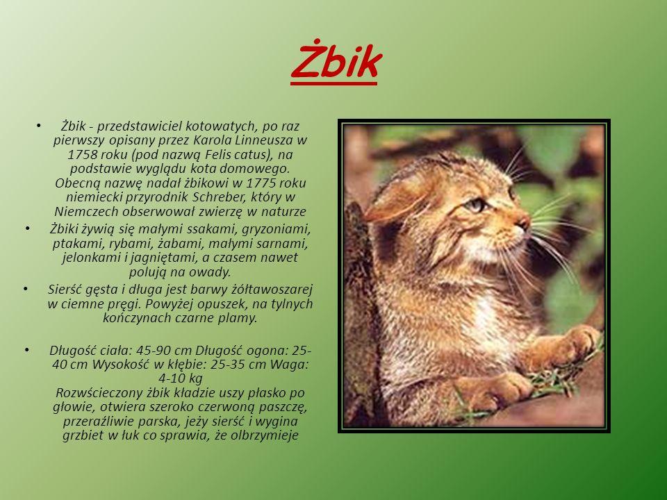 Żbik Żbik - przedstawiciel kotowatych, po raz pierwszy opisany przez Karola Linneusza w 1758 roku (pod nazwą Felis catus), na podstawie wyglądu kota domowego.
