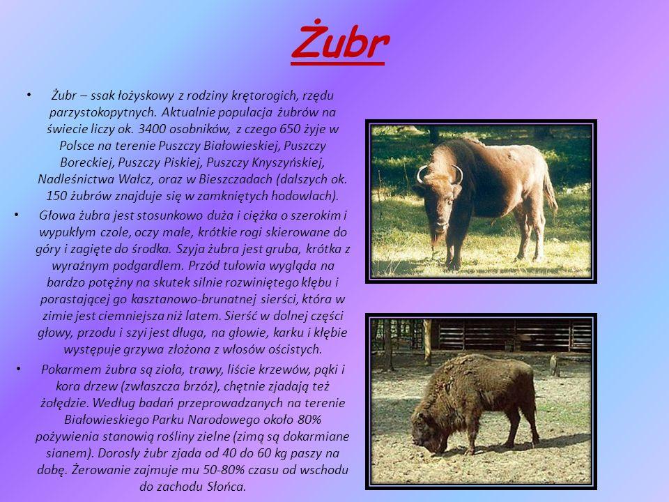 Żubr Żubr – ssak łożyskowy z rodziny krętorogich, rzędu parzystokopytnych.