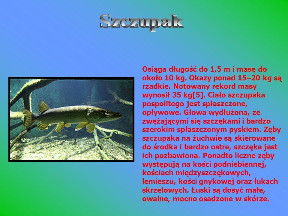 Osiąga długość do 1,5 m i masę do około 10 kg. Okazy ponad 15–20 kg są rzadkie. Notowany rekord masy wynosił 35 kg[5]. Ciało szczupaka pospolitego jes