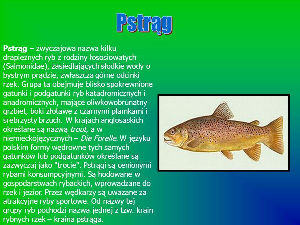 Pstrąg – zwyczajowa nazwa kilku drapieżnych ryb z rodziny łososiowatych (Salmonidae), zasiedlających słodkie wody o bystrym prądzie, zwłaszcza górne o