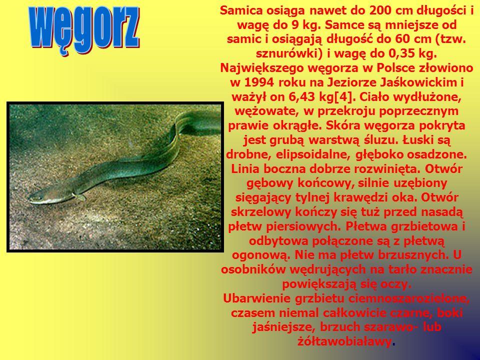 Samica osiąga nawet do 200 cm długości i wagę do 9 kg. Samce są mniejsze od samic i osiągają długość do 60 cm (tzw. sznurówki) i wagę do 0,35 kg. Najw