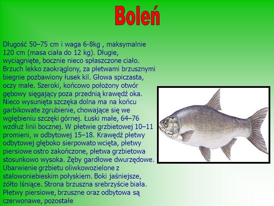 Długość 50–75 cm i waga 6-8kg, maksymalnie 120 cm (masa ciała do 12 kg). Długie, wyciągnięte, bocznie nieco spłaszczone ciało. Brzuch lekko zaokrąglon